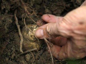 Как вырастить трюфель в Украине